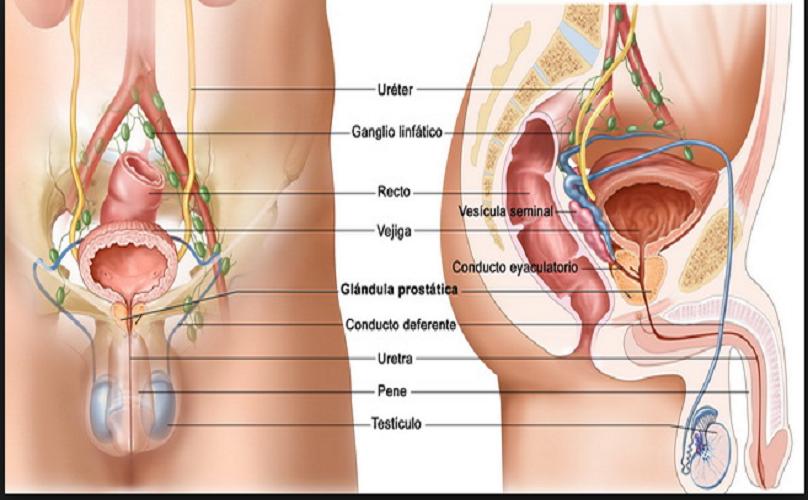 glándula próxima a la próstata